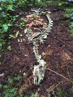 Deer skeleton with mushrooms growing within it - photo credit: Lain Haigh Elf Rogue, Deer Photos, Ac New Leaf, Animal Bones, Nature Aesthetic, Flower Aesthetic, Skull And Bones, Fungi, Crane
