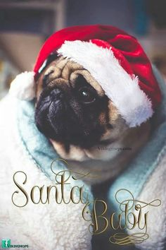Dashing through the snow with a pug in a festive sweater Pug life Pug Pictures, Pug Pics, Baby Animals, Cute Animals, Pug Christmas, Cute Pugs, Funny Pugs, Pugs And Kisses, Baby Pugs