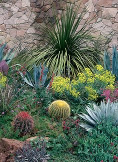 A strikingly colorful combination of cacti, leaf succulents, and flowering perennials adorn the rock wall. Yellows and reds pop out of this plant palette while color combinations provide contrast: Red against green (fish hook barrel cactus against foliage of verbena), blue-green (Agaves) and purple (prickly pear and Hesperaloe) against yellow (barrel cactus and gopher plant).