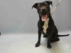 SAFE - 03/31/16 - **SICK** - TO BE DESTROYED - 03/31/16 - **PUPPY ALERT** - DUTCHESS - #A1068383 - Urgent Brooklyn - FEMALE BLACK/WHITE AM PIT BULL TER MIX, 8 Mos - OWNER SUR - EVALUATE, NO HOLD Reason NO TIME - Intake 03/24/16 Due Out 03/24/16 - FRIENDLY, ALLOWED ALL HANDLING - 03/30 CIRDC