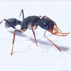 Ant colony for sale Harpegnathos venator Termite Control, Pest Control, Ant Colony, Pest Solutions, Paludarium, Rare Plants, Colonial, Animals, Search
