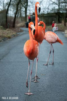 **FACTOID: A group of flamingos is called a flamboyance.