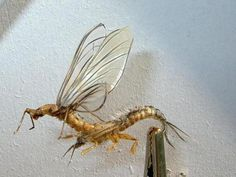Mayfly Emerging from Nymphal Shuck