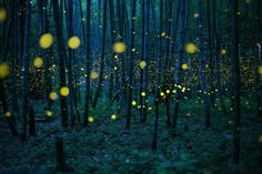 Ein Glühwürmchenschwarm erhellt den Boden eines Bambuswaldes. Dort kommen die Leuchtkäfer nur äußerst selten vor, so der Wissenschaftler. Entstanden ist das Bild bei einer hohen ISO-Zahl und dem schwachen Licht des Mondes.