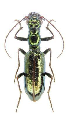 Ctenostoma (Naviauxiana) metallicum