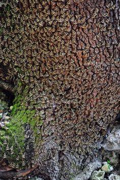 Jersey Tiger Moths  - Valley of the Butterflies , Rhodes.