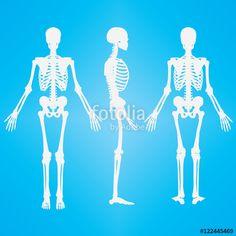 Vektör: Human Skeleton Silhouette White