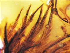 Dinosaur feathers trapped in Amber. 70-million-year old specimens from the late Cretaceous period