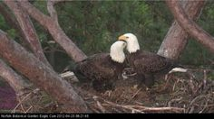 Male and Female eagles from Norfolk Botanical Garden nest - WVEC Eagle Cam