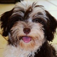 Chocolate Havanese Puppy can I have one please???!!!