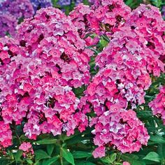Glamour Girl Tall Phlox