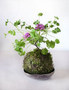 Pelargonium 39 Vancouver Centennial 39 As Bonsai Miniature