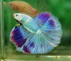 Beta - Blue/Green & Purple Betta Fish Care, Aquarium Accessories, Beta Fish, Siamese Fighting Fish, Beautiful Fish, Exotic Fish, Tropical Fish, Colorful Fish, Freshwater Fish