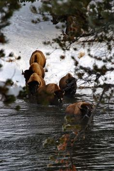 american bison (buffalo) crossing a winter stream | animal + wildlife photography