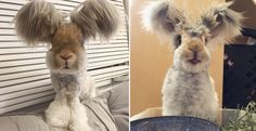Ecco Wally, un coniglio diventato famoso per le sue giganti orecchie a forma di ali! (foto)