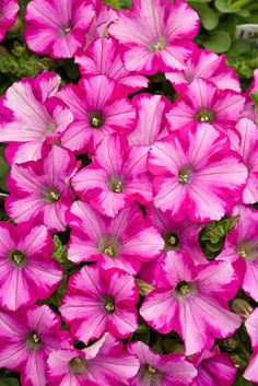 """Supertunia """"Rasberry Blast"""" """"Proven Winner"""" great trailing for baskets, fantastic colors - should be available at most garden retailers this  year"""