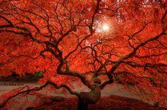 Red Lace  Lace Leaf Japanese Maple tree in Tacoma, Washington.  (Dan Mihai)