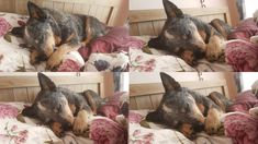Aussie Cattle Dog, Cattle Dogs, Australian Cattle Dog, Dog Pictures, Dog Love, Puppies, Friends, Blue, Animals