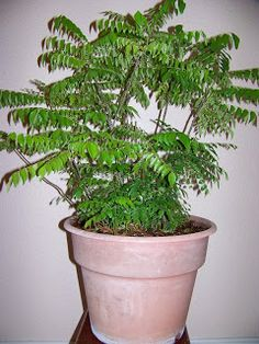 """Curry leaf plant (Murraya koenigii) """"Curry Leaf"""" plant, a herb, is native to India and Sri Lanka. The aromatic leaves of this plant are use. Curry Leaf Plant, Curry Leaves, Vegetable Garden, Garden Plants, Indoor Plants, Balcony Garden, Container Gardening, Gardening Tips, Cheap Plants"""