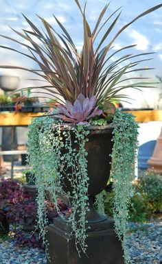 Echeverias 'Afterglow', 'Lola', Phormium 'Pink Stripe', Saxifraga 'Maroon Beauty' and silvery Dichondra