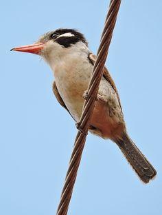 Foto joão-bobo (Nystalus chacuru) por Manoel Freitas | Wiki Aves - A Enciclopédia das Aves do Brasil