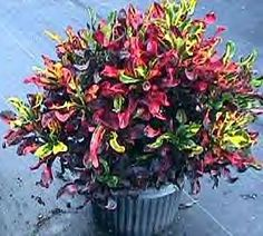 mammey croton, fire croton, codiaeum variegatum:   fertilize: Mar, June, & Oct with slow release mix containing minor elements  Trim: pinch off tips of branches once a year for fullness. Trim as needed to maintain desired height.  1' x 1' or 5' x 4'  Plant 12-18 inches on center