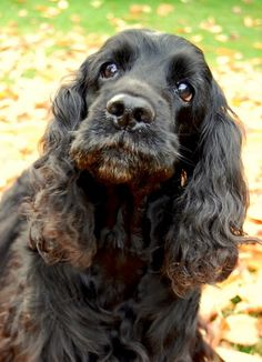 Cocker Spaniels of Black Mystic Cute Cats And Dogs, Cute Dogs And Puppies, Doggies, Cute Dogs Breeds, Dog Breeds, Animals Beautiful, Cute Animals, Cute Dog Memes, Cockerspaniel