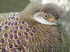 Grey Peacock Pheasant (Polyplectron bicalcaratum)