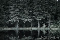 black and white forest pine - Google Search