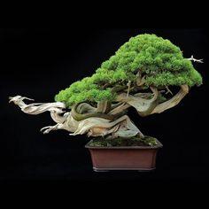 Bon Sai  Beautiful  Aged and Luxery بنسای  زیبا  کهن و لوکس بن سای یکی از زیبایی های طبیعی است که به دست انسان به ثمر نشسته است. درختهای بزرگ و زیبا را با کنترل رشد قدی  سالها در گلدان نگهداری میکنند و زیبایی آن را در کنج اتاق حفظ میکنند. بنسای برای بالا بردن مرتبه و کلاس تراریوم  ویواریوم و پالوداریوم گزینه بسیار خوبی است. #Herbarium ... make your #dream #هرباریوم ... سازنده آرزوهای شما #Aquarium #terrarium #vivarium #Paludarium #bonsai #plant #beautiful #aged #luxury #decor #آکواریوم…