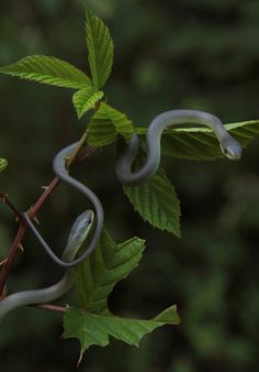 Baby green snakes by tessanickels, via Flickr
