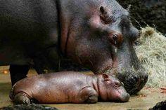 tags, funny animals, babi anim, hippo babi, mother
