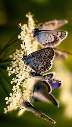 butterflies on cow parsley