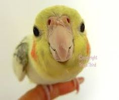 Image result for cute cockatiels