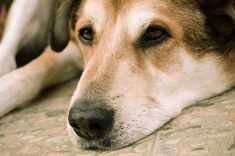 Although diarrhea might seem like something normal, it can be a signal that something worse is wrong with the dog. Diarrhea Food, Dog Has Diarrhea, Diarrhea Causes, Diarrhea Remedies, Medical Conditions, Corgi, Animals, Corgis, Animales