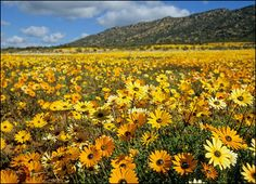 Namaqualand, south africa, field of flower, sunny colors Desert Flowers, Wild Flowers, World's Most Beautiful, Beautiful Places, Champs, Daisy, Out Of Africa, Mellow Yellow, Color Yellow