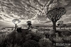 Namibia-Quiver-Tree-Forest-Black-And-White-REF-NAX7152QTF-Mitchell-Krog.jpg (800×533)