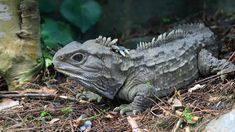 TIL of the living Dinosaur the Tuatara which is endemic to New Zealand. Reptiles And Amphibians, Mammals, Zoo Animals, Animals And Pets, Living Fossil, Paludarium, San Diego Zoo, John Green, Animals Of The World