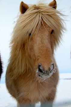 The Winter Icelandic Horse