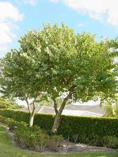 Bauhinia tree to 5m tall and wide