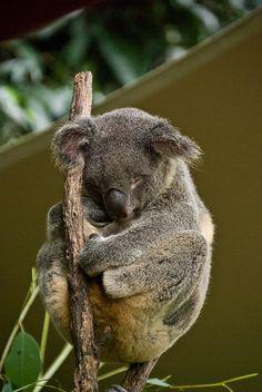 Koala Bear in Kuranda Wildlife park near Cairns Australia