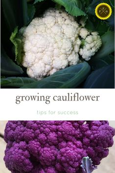 Growing cauliflower plants with success & colorful cauliflower varieties Growing Cauliflower, Purple Cauliflower, Healthy Fruits And Vegetables, Organic Vegetables, Vegetables Garden, Home Vegetable Garden, Fruit Garden, Growing Veggies, Gardens