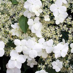 Hydrangea anomala subsp. petiolaris (Climbing Hydrangea) recommended by 11 professionals