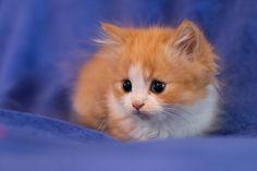 Fluffy ginger cuteness :-) #kitten # cats