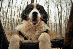 Exploring the florest! Bernese Dog, Pet Shop Online, Big Dogs, Exploring, Eyes, Cute, Animals, Bernese Mountain Dogs, Collars