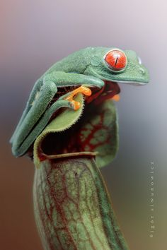 Costa Rican Staring Frog by Blepharopsis on top of a carnivorous pitcher plant
