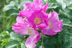 rosa rugosa now in my Garden  did it in Husum Germany