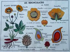 Your place to buy and sell all things handmade Vintage Botanical Prints, Botanical Drawings, Vintage Images, French Vintage, Style Fruit, Alice Waters, French Classroom, French School, School Posters