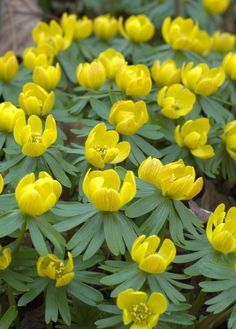 NAVADNA JARICA Aconites: eranthis hyemalis flowering. Always a wonderful moment in my Somerset garden when the first aconites show themselves, a harbinger of Spring.