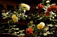 Roses from http://verrinimunari.it